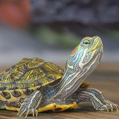 5 Reasons Why You Should NOT Get Your Kids a Pet Turtle for Christmas